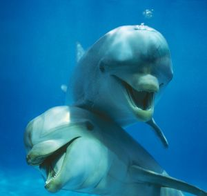 Bottlenose DOLPHIN - two facing camera