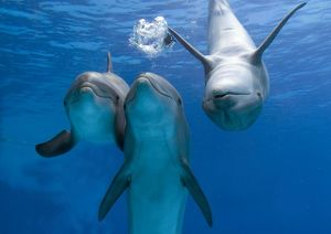 Bottlenose dolphins - three playing underwater