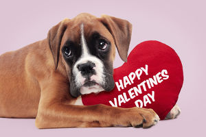 Boxer Dog, puppy holding heart shaped happy valentines