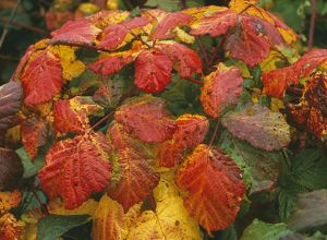BRAMBLE leaves - in Autumn