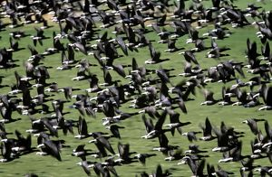 Brent GOOSE - flock flying