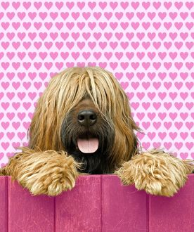 Briard - looking over pink fence - heart background
