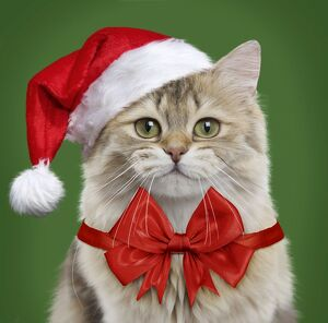 British Longhair cat wearing a red bow and Christmas Santa hat