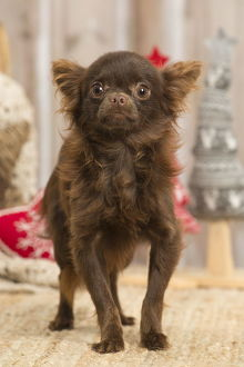 Brown Chihuahua puppy dog indoors