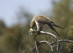 Brown FALCON - with prey