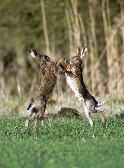 Brown Hares - boxing in field