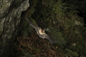 Brown Long-eared Bat - in flight