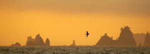 Brown pelican diving at Sunset with Sea Stacks