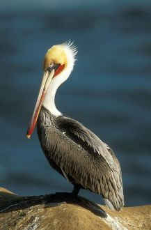 Brown PELICAN - non-breeding adult
