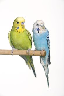 Budgerigar - two on perch
