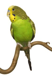 Budgerigars - on perch