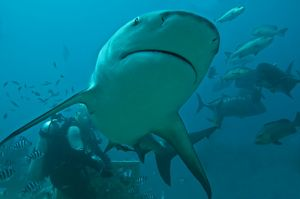 Bull Shark - diver in background
