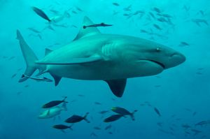 Bull Shark - female