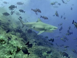 Bull shark - Swimming through fish. Very dangerous to man