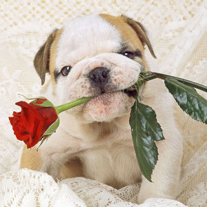 Bulldog - cute puppy dog with rose in mouth