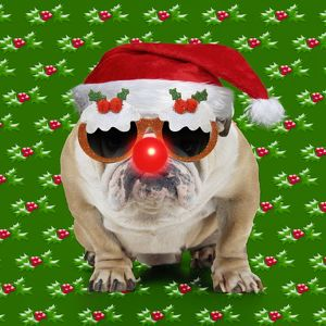 Bulldog dog wearing a red Santa Christmas hat and a red nose