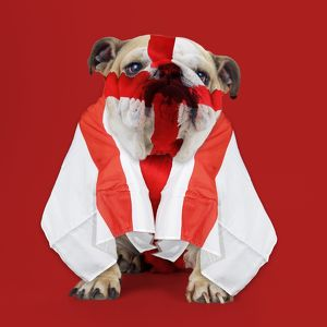 Bulldog - face painted with St George cross and flag dra