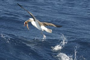 BullerOA³ Albatross - With food in beak