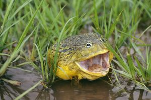 BULLFROG - MOUTH OPEN