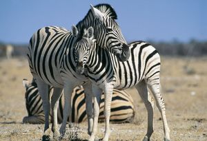 Burchell's / Common / Plains Zebra - and young