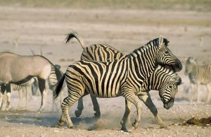 Burchell's Zebra - stallions fighting in the vicinity
