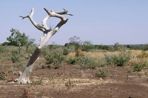 Burkina Faso - sahel tree, killed by continual