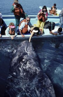 California Grey Whale - 'Friendly whale behavior';