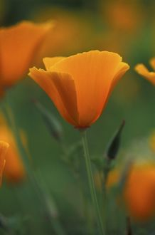 Californian Poppy - annual - May