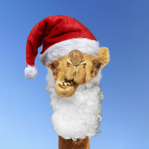 Camel wearing Father Christmas Santa hat and beard