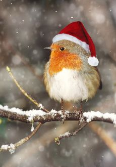 CAN-1862-C-M1 Robin - in falling snow wearing Christmas hat