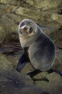 CAN-2799 New Zealand FUR SEAL