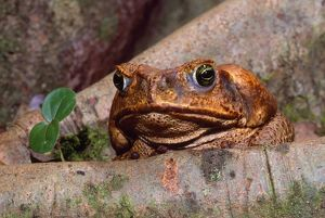 Cane / Giant / Marine Toad - introduced to Australia