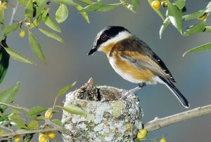 Cape Batis - female at nest with young