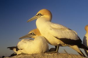 Cape GANNET - pair, one standing one lying-down