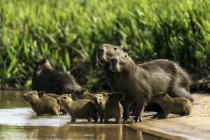 Capybara family by the river