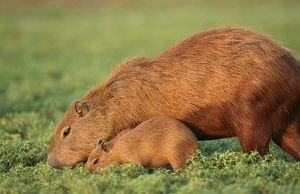 CAPYBARA - Mother and baby grazing