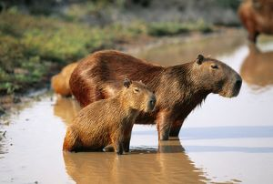 Capybara - and young, in water