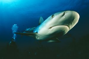 Caribbean Reef SHARK - being filmed by diver, Ron Taylor