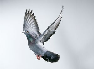 Carrier / Racing / Homing PIGEON - in flight