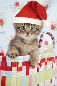 Cat - 6 week old Somali cross Asian kitten wearing A Christmas hat
