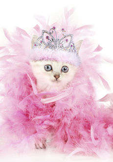 Cat. Asian. Chocolate classic tabby kitten, tiara and pink boa