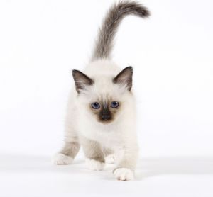 Cat - Birman kitten