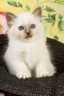 Cat - Birman kitten in hat