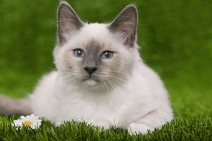 Cat - Birman - kitten lying down in grass with flowers