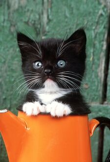 CAT - Black KITTEN in orange jug