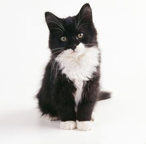CAT - black & white kitten