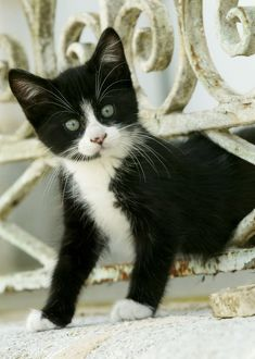 Cat - Black and white kitten climbing through hole in fence