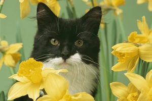 CAT - black and white kitten in daffodils