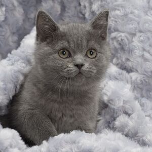 Cat - British Blue Shorthair kitten - in blanket