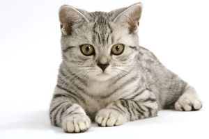 Cat - British Short-haired, silver tabby spotted kitten
